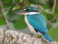 white-collared-kingfisher