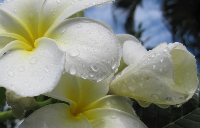 garden frangipani monsoon close