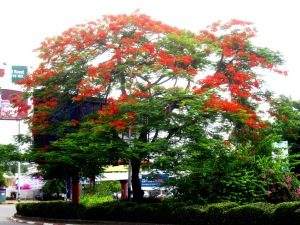 Flamboyant tree Yangon