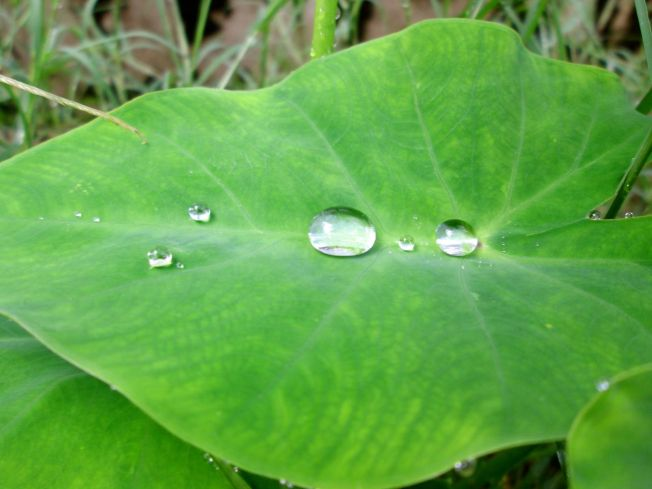 monsoon droplets, captured like teardrops