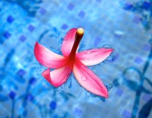 Frangipani blossom, just landed