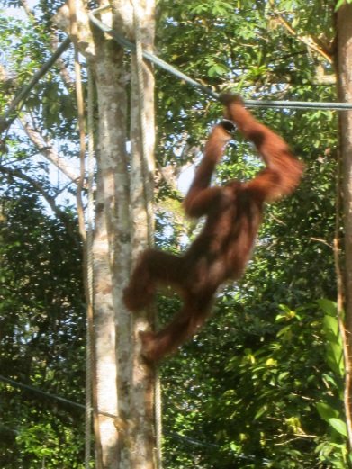 The male on his way through the jungle canopy