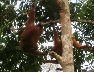 borneo orang utan 2