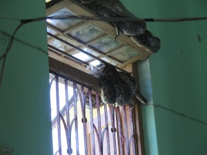 A knotted, very large python sleeping on the window