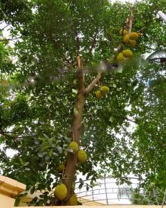 jackfruit 1