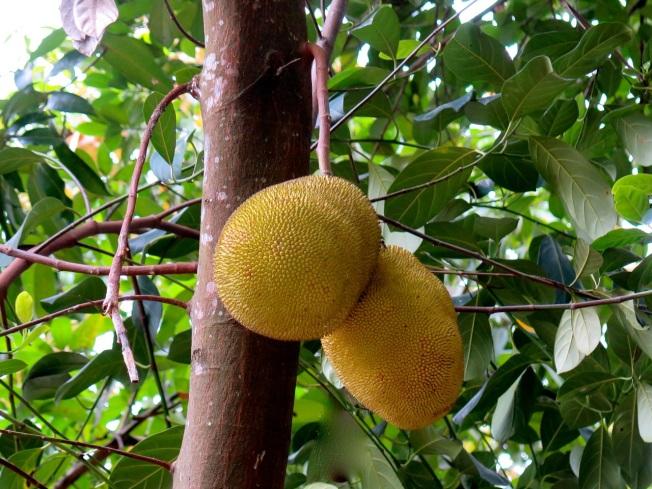 jackfruit 2
