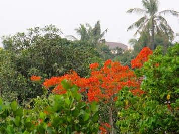 flame tree and mangoes