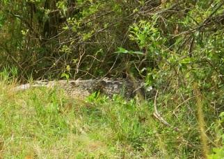 Sleepy large crocodile