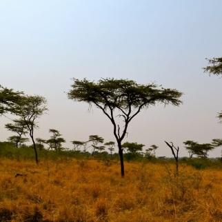 African Acacia