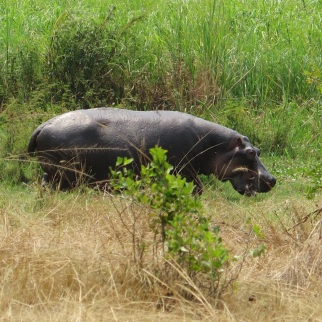 A hippo in search of a wallow