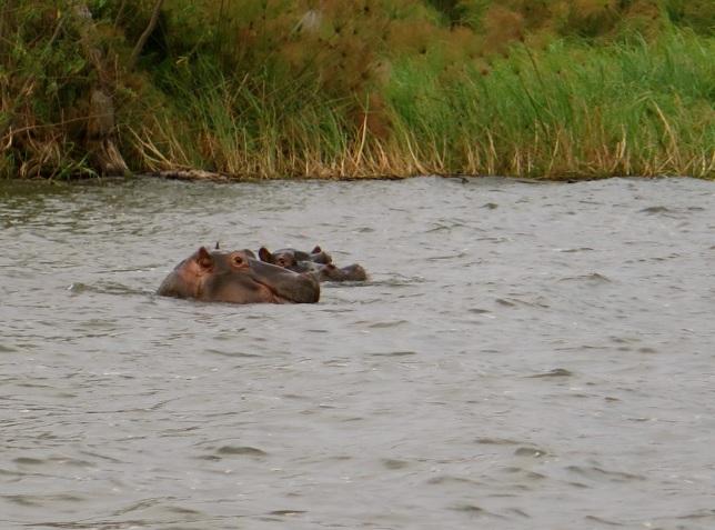 Hippo bird-day 26