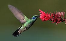 wikihummingbird